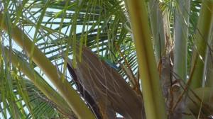 Blaugrüner Gecko auf einer Palme in Kuba