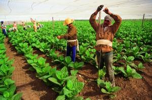Tabakbauern in Kuba