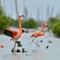 Karibischer Flamingo